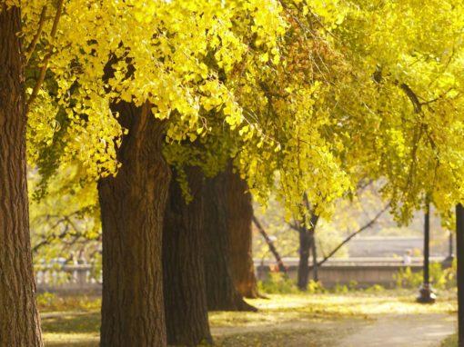 Rose Park Ginko Trees